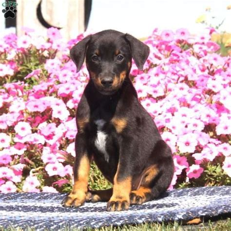 doberman mix puppies for sale pearl doberman mix puppy for sale in pennsylvania