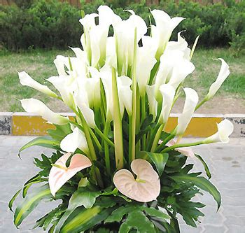Lilies Or Lillies by