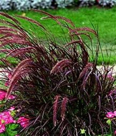 rotes gras picture idea 4 you landscaping grass plants