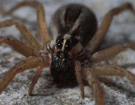 show me a wolf spider 28 images 25 best ideas about scary spiders on pinterest halloween