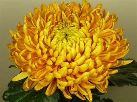 fiori a palla crisantemi a palla grande
