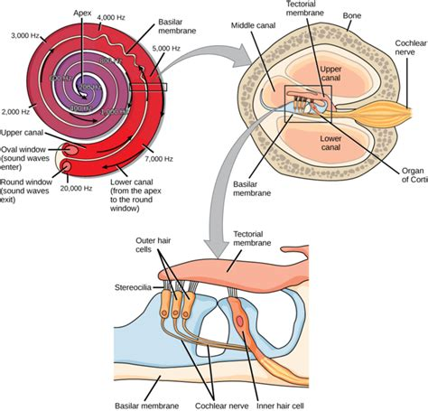 vestibular nerve section hearing and vestibular sensation boundless biology