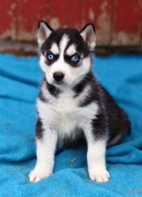 free husky puppies for sale akc registered siberian huskies for sale free breeds picture