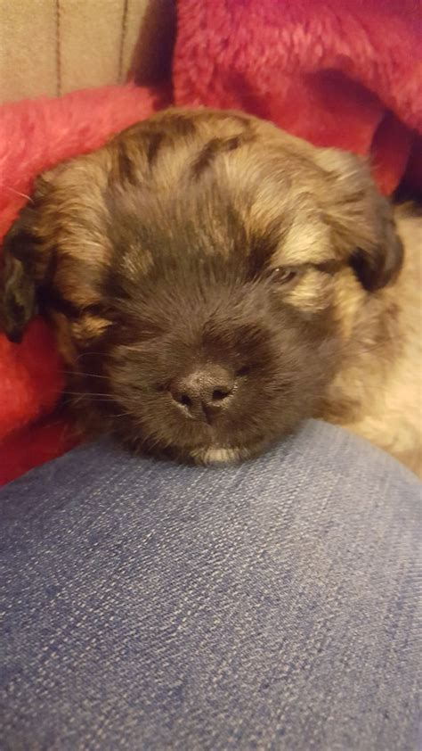 patterdale cross shih tzu 2 shih tzu cross patterdale puppies bridgwater somerset pets4homes