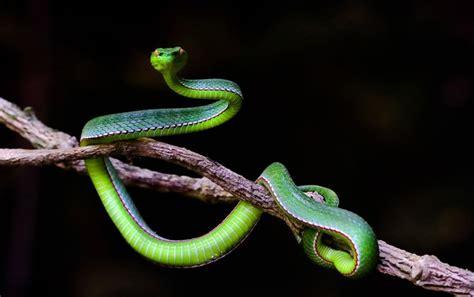 Serum Bisa Ular kanker payudara dapat diobati dari bisa ular