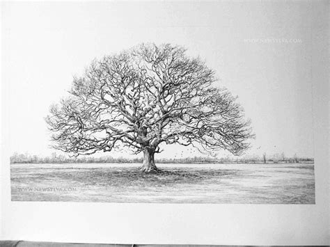 oak tree drawing oak tree drawing x3cb x3edrawing x3c b x3e the new sylva