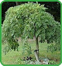 alberi da fiore ornamentali vendita alberi ornamentali da giardino vivai lanari paolo