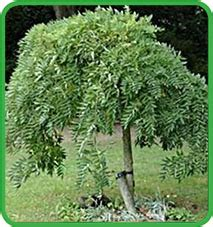 alberi ornamentali per giardino vendita alberi ornamentali da giardino vivai lanari paolo