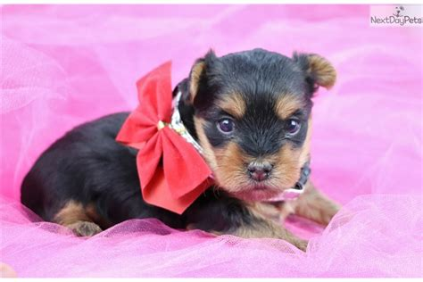 yorkie puppies for sale in greensboro nc terrier yorkie puppy for sale near greensboro carolina 0c904090 1451