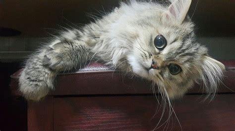 alimentazione gatto persiano alimentazione gatto persiano la dieta ideale dogalize