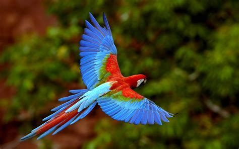bird  flight wings macaws long tailed parrots colorful birds  ultra hd  desktop