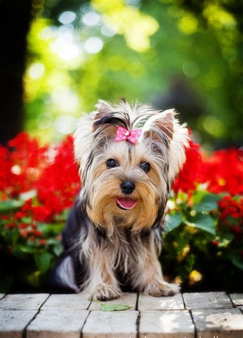 yorkie illnesses health problems in terrier many