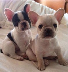 french bulldog c section 1000 ideas about mini french bulldogs on pinterest