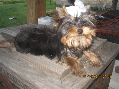 yorkie teeth falling out teacup yorkie puppies yorkie breeder yorkshires for sale