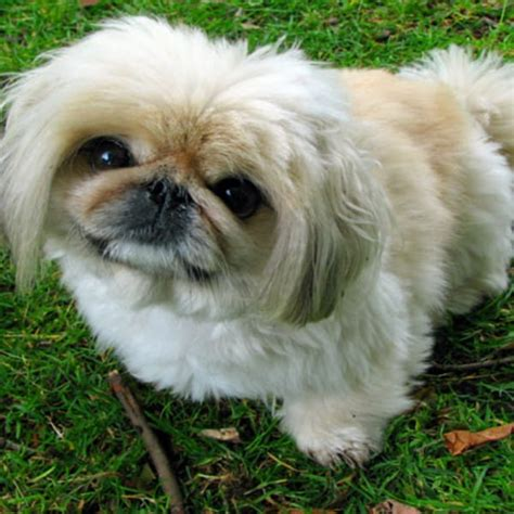 dogs that stay puppies forever 59 best small breeds that stay small forever