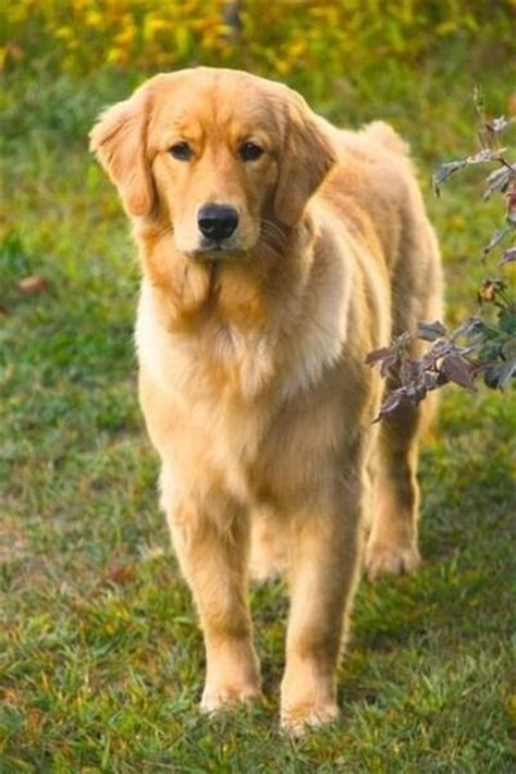 b golden retrievers 1000 images about golden retrievers p 229 valpar hundcitat och golden