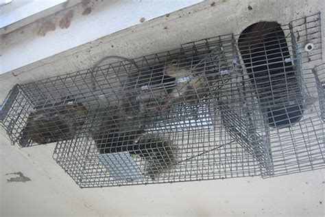 Squirrel In Ceiling by How To Trap Squirrels Squirrel Trapping Tips