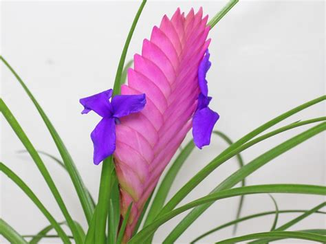 Winter Flowers by Tillandsia Cyanea Pink Quill