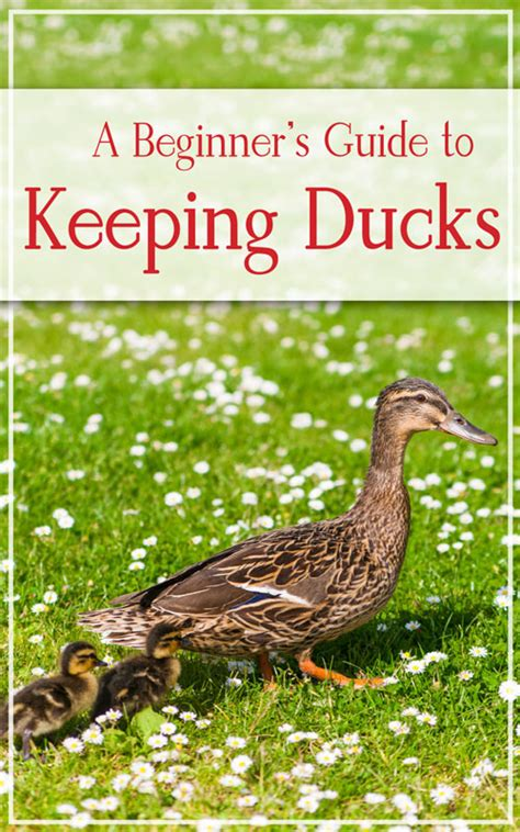 storey s guide to raising chickens 4th edition breed selection facilities feeding health care managing layers birds books a beginner s guide to keeping ducks in suburbia