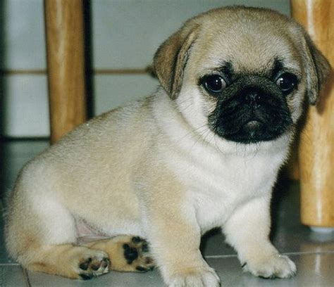 why pugs why pugs dogs are the family pet pethelpful