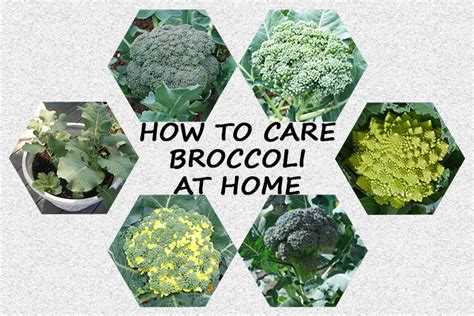 harvest broccoli heads   garden home