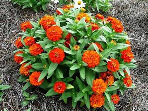 zinnia fiore planning the summer flower garden lsu agcenter
