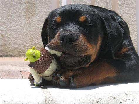 rescue a rottweiler puppy best 25 german rottweiler ideas on rottweiler german shepherd and