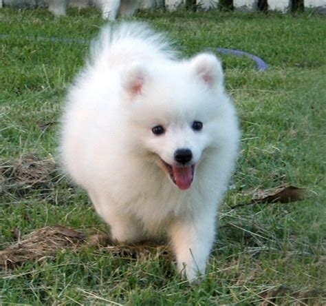 japanese spitz puppies japanese spitz