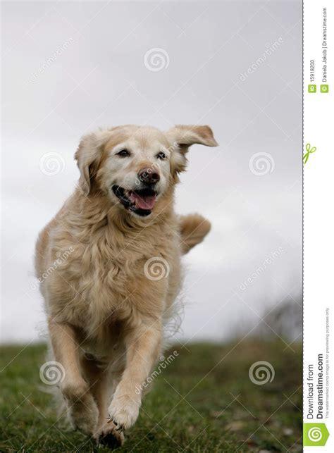 running golden retriever dog stock photo image