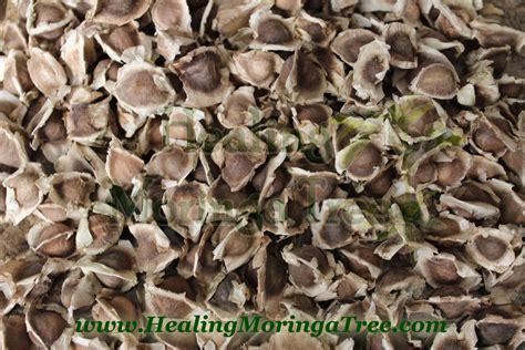 wholesale seed bulk wholesale organic moringa oleifera seeds