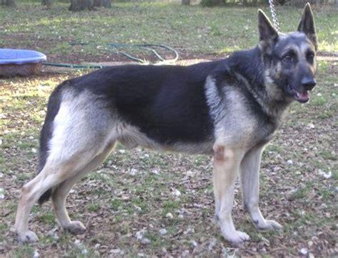 silver german shepherd a beautiful silver and black german shepherd adopt a pet from animal referral