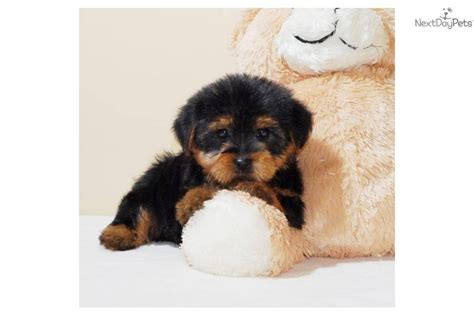 ohio yorkies terrier puppy central yorkie teacup