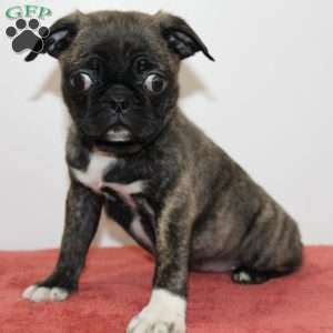 pug mix puppies for sale in pa pug mix puppies for sale pug mix breed profile greenfield puppies