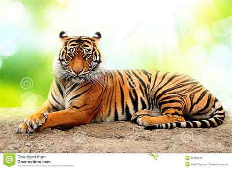 Amazing Animals Tigers tiger royalty free stock image image 29768536