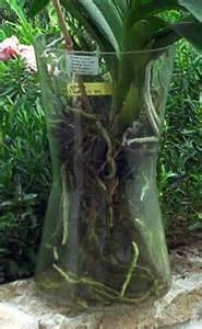 fiche de culture des orchides vanda