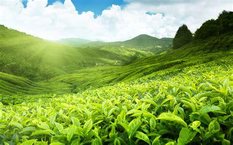 wallpaper green tea fields of tea hd wallpapers find best latest fields of