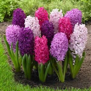 What Is Iowa State Flower - hyacinth fierce mix longfield gardens