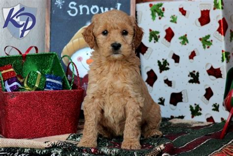 mini goldendoodle puppies for sale in pa miniature goldendoodle puppies for sale in pa keystone puppies animal