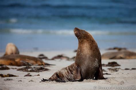 australian sea lion burrard lucas photography