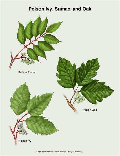 identify poison ivy leaves how to identify poison ivy poison oak and poison sumac