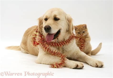 spotted golden retriever pets golden retriever and kitten with tinsel photo wp26879