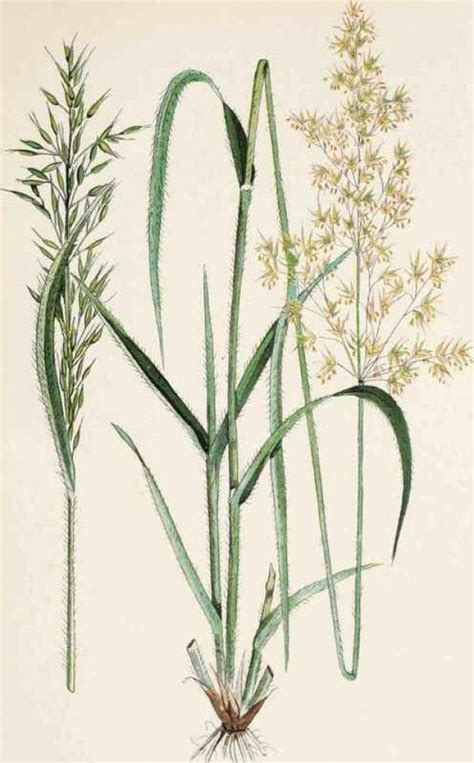 wild oats tattoo grasses beautiful weeds botanic illustration
