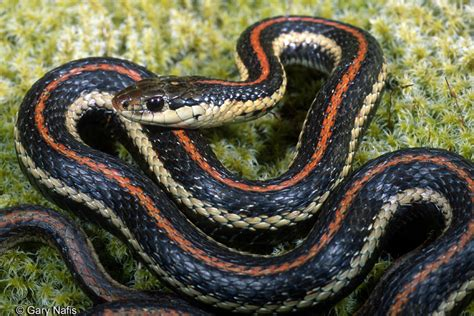 Garter Snake Oregon by Northwestern Gartersnake Thamnophis Ordinoides
