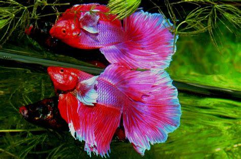 Pakan Ikan Cupang beda ikan cupang hias dan ikan cupang adu simak