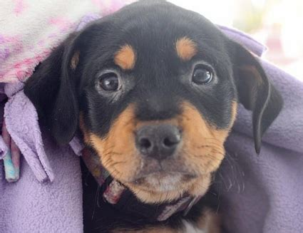 rottweiler names top 10 names for rottweilers