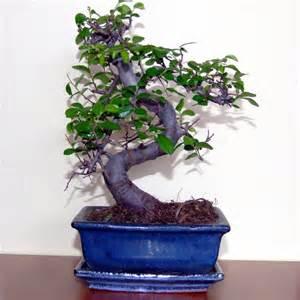 bonzi tree bonsai trees pictures
