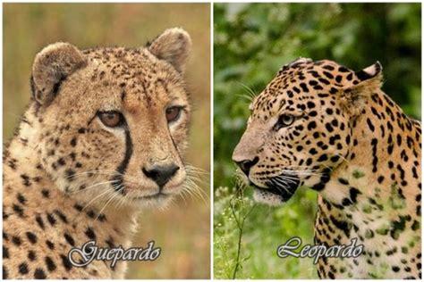 imagenes de jaguar y leopardo diferencias entre guepardo y leopardo