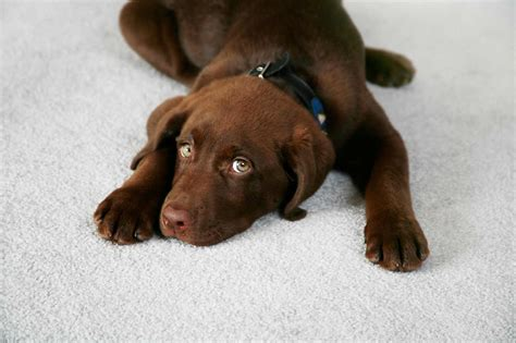 best carpet for pets best carpet for pets feel the home