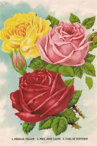 rose royal 137 best images about quot old country roses quot royal albert www royalalbertpatterns com on pinterest