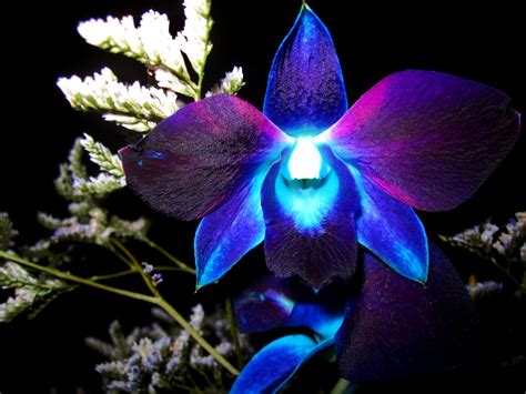 blue orchid eletragesi blue orchid flower drawing images